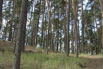 бузулукский бор лес 5