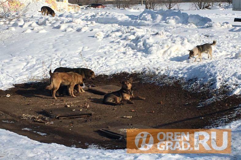 В Оренбурге бездомные собаки продолжают одолевать горожан