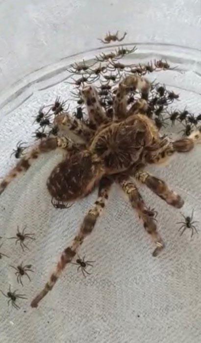 Орчане нашли паука, который принес им потомство