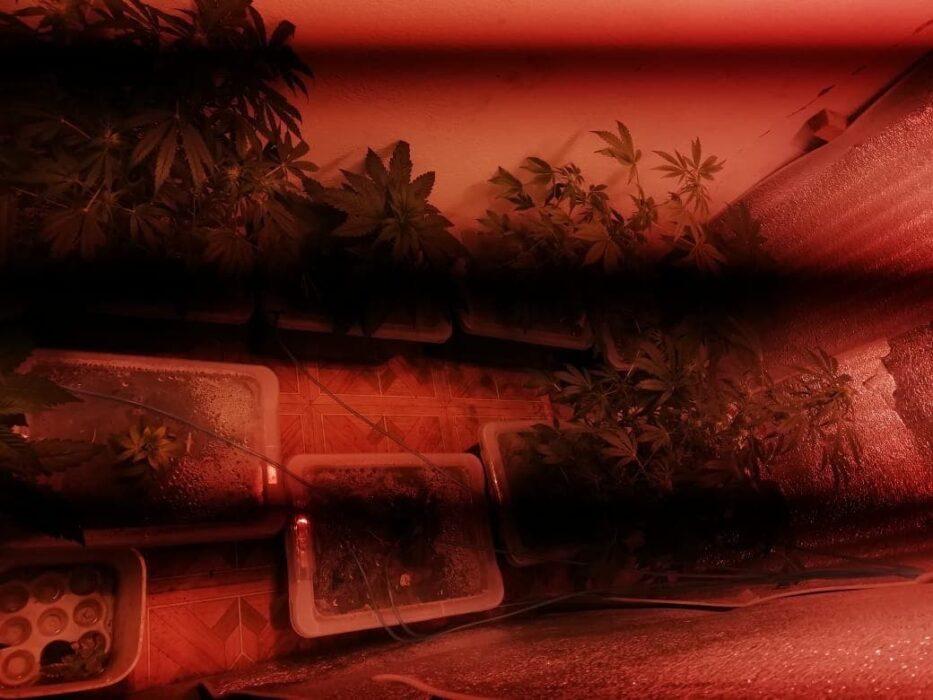 Оренбуржец выращивал коноплю в дачной теплице