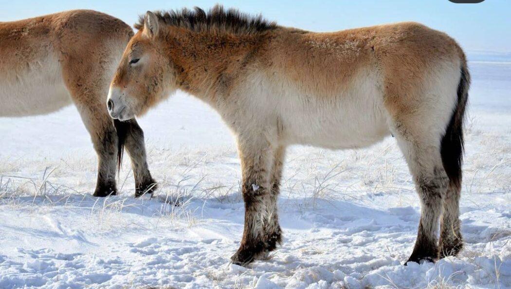 Губернатор Оренбургской области показал подопечного жеребенка лошади Пржевальского