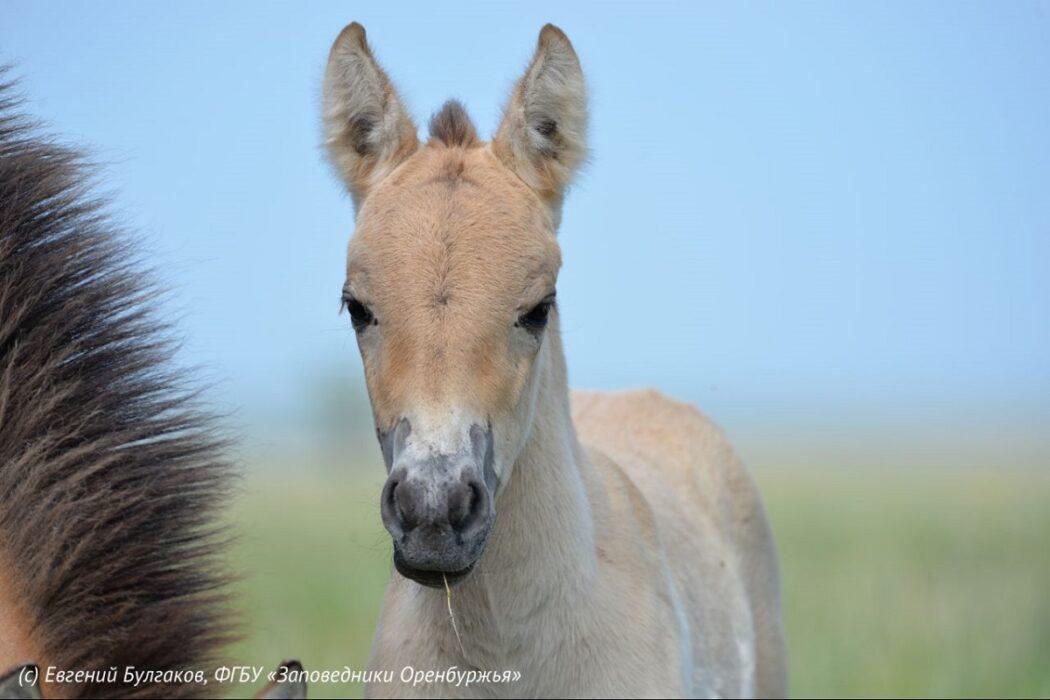 """В заповеднике """"Оренбургском"""" сразу у трех пар лошади Пржевальского появилось потомство"""