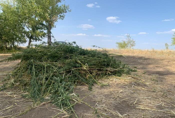 В Первомайском районе полицейские вышли на покос дурман-травы
