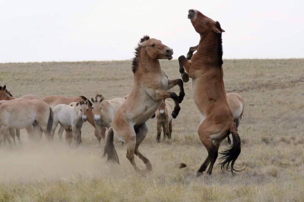 В оренбургском заповеднике самцы лошади Пржевальского напали на лося