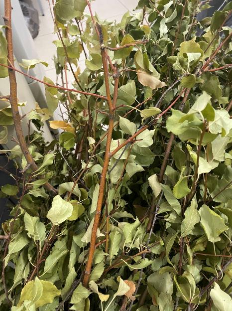 Из Оренбуржья на экспорт хотели вывезти 150 саженцев яблонь, зараженных грибком
